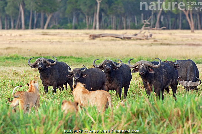 Lion pride (Panthera leo) testing a herd of Cape Buffalo (Syncerus cafer). Masai Mara National Reserve, Kenya, August 2009  ,  BIG CATS,CARNIVORES,COOPERATION,EAST AFRICA,GROUPS,HERDS,LIONS,MAMMALS,PREDATION,VERTEBRATES,Behaviour  ,  Anup Shah