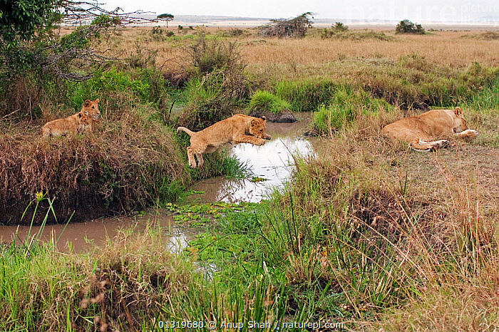 Lion cub (Panthera leo), aged about 9 months, leaping over a stream. Masai Mara National Reserve, Kenya, August 2009  ,  ACTION,BIG CATS,CARNIVORES,CUBS,EAST AFRICA,FAMILIES,JUMPING,JUVENILE,LIONS,MAMMALS,STREAMS,VERTEBRATES,WETLANDS  ,  Anup Shah