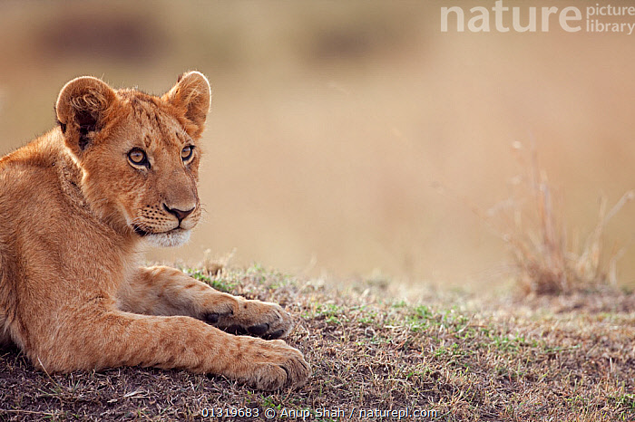 Lion cub (Panthera leo), aged about 9 months, resting. Masai Mara National Reserve, Kenya, August 2009  ,  BIG CATS,CARNIVORES,CUBS,EAST AFRICA,HEADS,LIONS,MAMMALS,PORTRAITS,VERTEBRATES  ,  Anup Shah
