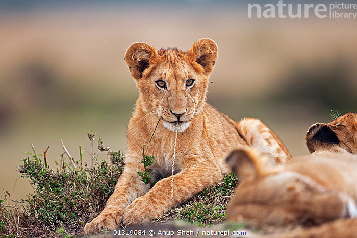 Lion cub (Panthera leo), aged about 9 months, playing with a piece of grass. Masai Mara National Reserve, Kenya, August 2009  ,  BIG CATS,CARNIVORES,CUBS,EAST AFRICA,LIONS,MAMMALS,PLAY,PORTRAITS,VERTEBRATES,Communication  ,  Anup Shah