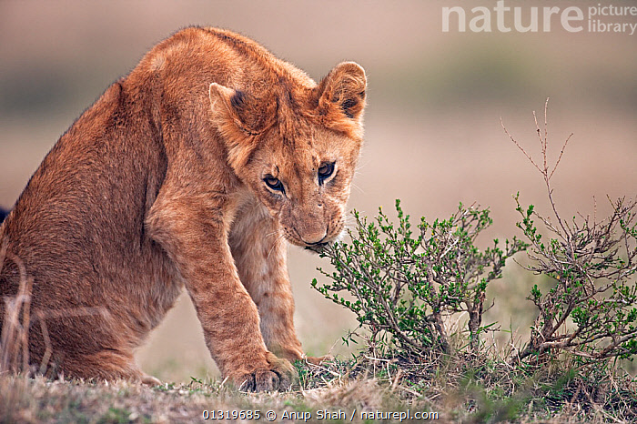 Lion cub (Panthera leo) aged about 9 months playing with a small shrub. Masai Mara National Reserve, Kenya, August 2009  ,  BIG CATS,CARNIVORES,CUBS,EAST AFRICA,LIONS,MAMMALS,PLAY,VERTEBRATES,Communication  ,  Anup Shah