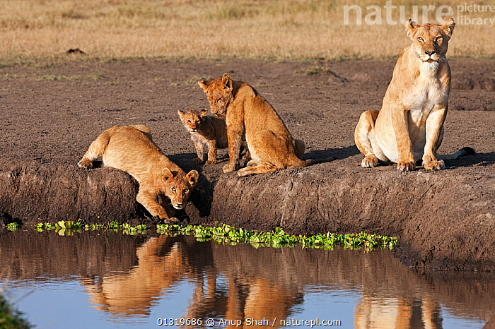 Lion (Panthera leo) family drinking from a pool. Masai Mara National Reserve, Kenya, August 2009  ,  BIG CATS,CARNIVORES,CUBS,DRINKING,EAST AFRICA,FAMILIES,LIONS,MAMMALS,VERTEBRATES,WATER,WETLANDS  ,  Anup Shah