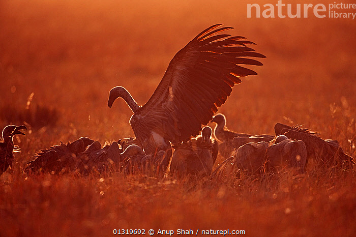 White backed vultures (Gyps africanus) gathering in the early morning. Masai Mara National Reserve, Kenya, August 2009  ,  BIRDS,DAWN,EAST AFRICA,FEEDING,GROUPS,SCAVENGING,VERTEBRATES,VULTURES  ,  Anup Shah