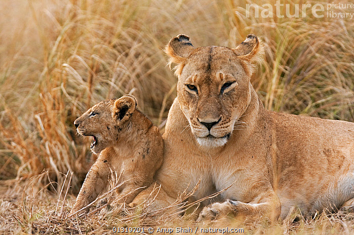 Lioness (Panthera leo) resting with her 4 month cub. Masai Mara National Reserve, Kenya, August 2009  ,  BIG CATS,CARNIVORES,CUBS,EAST AFRICA,FEMALES,LIONS,MAMMALS,MOTHER BABY,VERTEBRATES  ,  Anup Shah