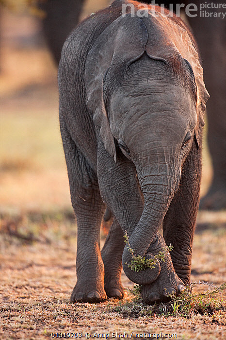 African elephant calf (Loxodonta africana) pulling on a small shrub with its trunk. Masai Mara National Reserve, Kenya, August 2009  ,  BABIES,EAST AFRICA,ELEPHANTS,ENDANGERED,MAMMALS,PLAY,PLAYING,PROBOSCIDS,TRUNKS,VERTEBRATES,VERTICAL,Communication  ,  Anup Shah