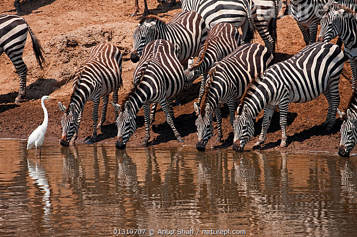 Common / Plains Zebra (Equus quagga) drinking at the Mara River. Masai Mara National Reserve, Kenya, August 2009  ,  burchellii, DRINKING, EAST-AFRICA, GROUPS, herd, MAMMALS, PERISSODACTYLA, REFLECTIONS, RIVERS, VERTEBRATES, WATER, ZEBRAS,Africa,Equines  ,  Anup Shah