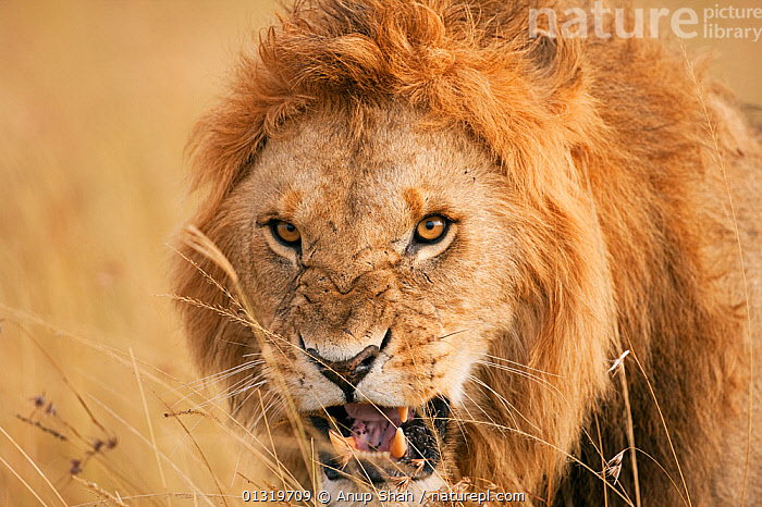 Lion male (Panthera leo) snarling - head-on portrait. Masai Mara National Reserve, Kenya, August 2009  ,  AGGRESSION,BIG CATS,CARNIVORES,EAST AFRICA,HEADS,LIONS,MALES,MAMMALS,PORTRAITS,VERTEBRATES,Concepts  ,  Anup Shah