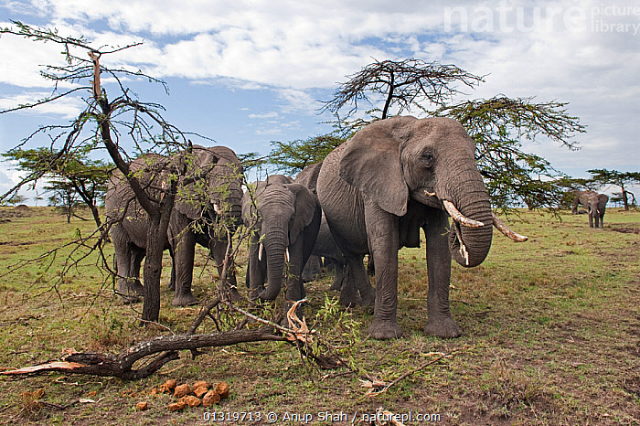 African elephant herd (Loxodonta africana) feeding on a tree they have pushed over. Masai Mara National Reserve, Kenya, August 2009  ,  DESTRUCTION,EAST AFRICA,ELEPHANTS,ENDANGERED,FAMILIES,FEEDING,GROUPS,MAMMALS,PROBOSCIDS,SAVANNA,TREES,VERTEBRATES,Grassland,PLANTS  ,  Anup Shah