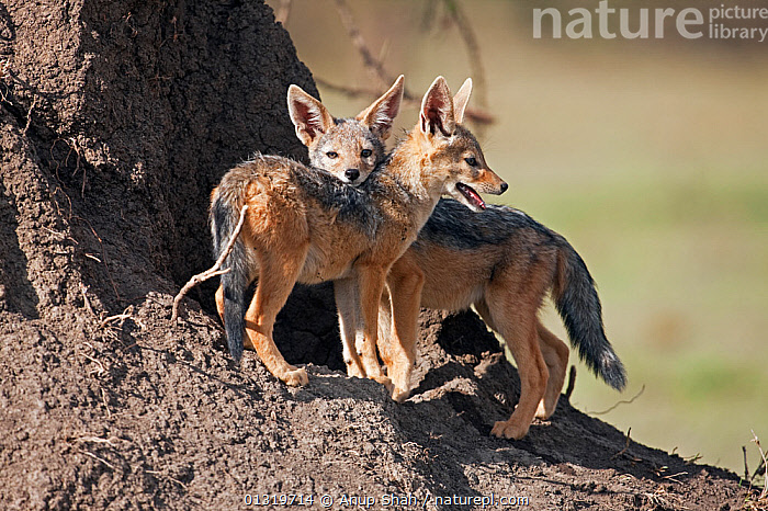 Black backed jackal pups (Canis mesomelas), 6-9 months, outside entrance to den. Masai Mara National Reserve, Kenya, August 2009  ,  BABIES,CANIDS,CARNIVORES,EAST AFRICA,JACKALS,JUVENILE,MAMMALS,PUP,TWO,VERTEBRATES,Dogs  ,  Anup Shah