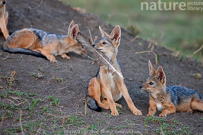 Black-backed jackal pups (Canis mesomelas) 6-9 months playing with a vulture feather. Masai Mara National Reserve, Kenya, August 2009  ,  BABIES,CANIDS,CARNIVORES,EAST AFRICA,FEATHERS,JACKALS,JUVENILE,MAMMALS,PLAY,PUP,VERTEBRATES,Communication,Dogs  ,  Anup Shah