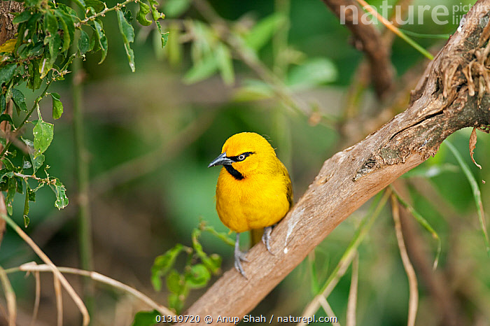 Spectacled weaver male (Ploceus ocularis) perching on a branch. Masai Mara National Reserve, Kenya, August  ,  BIRDS,EAST AFRICA,MALES,PLOCEIDAE,RESERVE,SONGBIRDS,VERTEBRATES,WEAVER BIRDS,YELLOW  ,  Anup Shah