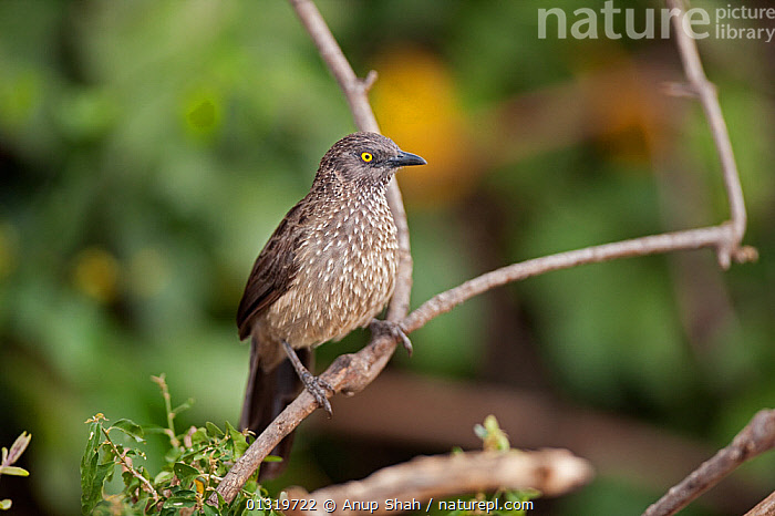 Arrow marked babbler (Turdoides jardineii) perching on a twig. Masai Mara National Reserve, Kenya, August 2009  ,  BABBLERS,BIRDS,EAST AFRICA,SONGBIRDS,VERTEBRATES  ,  Anup Shah