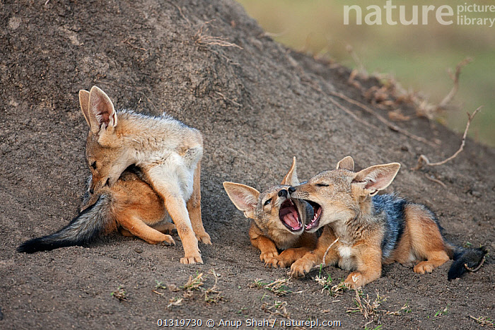 Black-backed jackal pups (Canis mesomelas), 6-9 months, playing together outside the den. Masai Mara National Reserve, Kenya, August 2009  ,  BABIES,CANIDS,CARNIVORES,EAST AFRICA,JACKALS,JUVENILE,MAMMALS,PLAY,PUPS,VERTEBRATES,Communication,Dogs  ,  Anup Shah