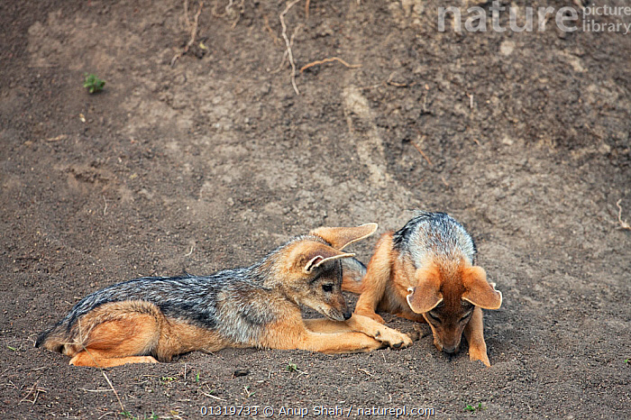 Black-backed jackal pups (Canis mesomelas), 6-9 months, playing outside the den. Masai Mara National Reserve, Kenya, August 2009  ,  BABIES,CANIDS,CARNIVORES,EAST AFRICA,JACKALS,JUVENILE,MAMMALS,PLAY,PUP,VERTEBRATES,Communication,Dogs  ,  Anup Shah