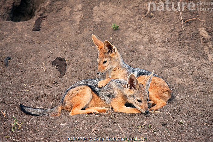 Black-backed jackal pups (Canis mesomelas), 6-9 months, playing outside the den. Masai Mara National Reserve, Kenya, August 2009  ,  BABIES,CANIDS,CARNIVORES,EAST AFRICA,JACKALS,JUVENILE,MAMMALS,PLAY,PUP,TWO,VERTEBRATES,Communication,Dogs  ,  Anup Shah