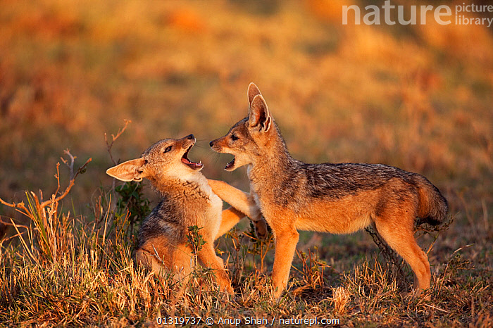 Black-backed jackal pups (Canis mesomelas), 6-9 months playing together. Masai Mara National Reserve, Kenya, August 2009  ,  BABIES,CANIDS,CARNIVORES,EAST AFRICA,JACKALS,JUVENILE,MAMMALS,PLAY,PUP,SAVANNA,VERTEBRATES,Communication,Grassland,Dogs  ,  Anup Shah