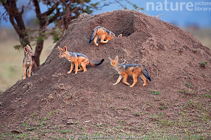 Black-backed jackal pups (Canis mesomelas), 6-9 months, playing at entrance to the den. Masai Mara National Reserve, Kenya, August 2009  ,  BABIES,CANIDS,CARNIVORES,EAST AFRICA,JACKALS,JUVENILE,MAMMALS,MOUND,PLAY,PUP,THREE,VERTEBRATES,Communication,Dogs  ,  Anup Shah