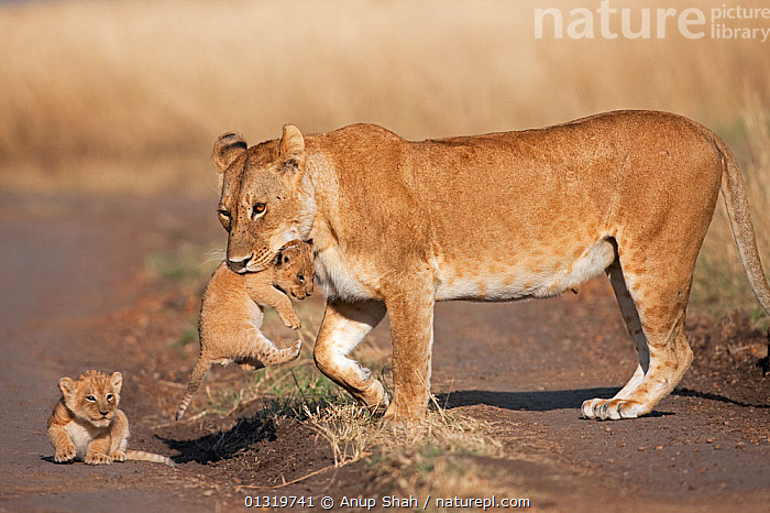 Lioness (Panthera leo) picking up one of her cubs aged 2-3 months. Masai Mara National Reserve, Kenya, August 2009  ,  BIG CATS,CARNIVORES,CARRYING,CUBS,EAST AFRICA,FAMILIES,FEMALES,LIONS,MAMMALS,MOTHER BABY,PARENTAL,VERTEBRATES  ,  Anup Shah