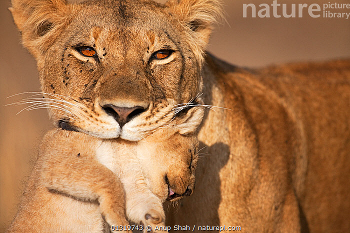 Lioness (Panthera leo) carrying her cub aged 2-3 months. Masai Mara National Reserve, Kenya. August 2009.  ,  AFRICA,animal portrait,BIG CATS,CARNIVORES,CARRYING,carrying in mouth,catalogue3,close up,CLOSE UPS,CUBS,EAST AFRICA,female animal,FEMALES,front view,holding in mouth,Kenya,lion cub,lioness,LIONS,MAMMALS,Masai Mara,MOTHER BABY,MOUTHS,National Reserve,Nobody,one animal,outdoors,PARENTAL,Parenting,two animals,VERTEBRATES,whiskers,WILDLIFE,young animal  ,  Anup Shah