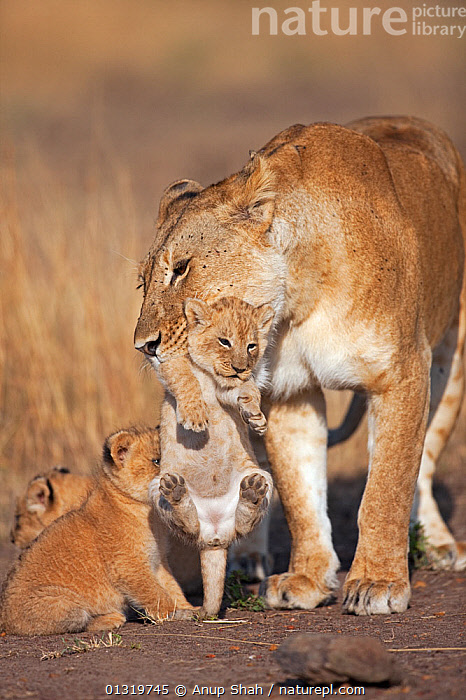 Lioness (Panthera leo) picking up her cub aged 2-3 months, with other cubs looking on. Masai Mara National Reserve, Kenya, August 2009  ,  BIG CATS,CARNIVORES,CARRYING,CUBS,EAST AFRICA,FAMILIES,FEMALES,LIONS,MAMMALS,MOTHER BABY,PARENTAL,VERTEBRATES,VERTICAL  ,  Anup Shah