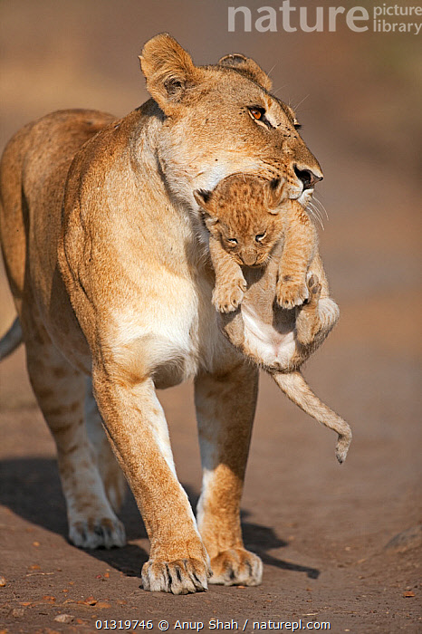 Lioness (Panthera leo) carrying her cub aged 2-3 months. Masai Mara National Reserve, Kenya, August 2009  ,  BIG CATS,CARNIVORES,CARRYING,CUBS,EAST AFRICA,FEMALES,LIONS,MAMMALS,MOTHER BABY,PARENTAL,VERTEBRATES,VERTICAL  ,  Anup Shah