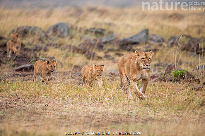 Lioness (Panthera leo) leading cubs aged about 7 months towards the male. Masai Mara National Reserve, Kenya, August 2009  ,  ACTION,BIG CATS,CARNIVORES,CUBS,EAST AFRICA,FAMILIES,FEMALES,LIONS,MAMMALS,RUNNING,SAVANNA,VERTEBRATES,Grassland  ,  Anup Shah