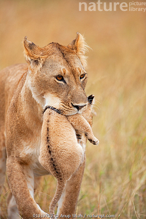 Lioness (Panthera leo) carrying her cub aged 2-3 months. Maasai Mara National Reserve, Kenya, August 2009  ,  BIG CATS,CARNIVORES,CARRYING,CUBS,EAST AFRICA,FEMALES,LIONS,MAMMALS,MOTHER BABY,PARENTAL,VERTEBRATES,VERTICAL  ,  Anup Shah