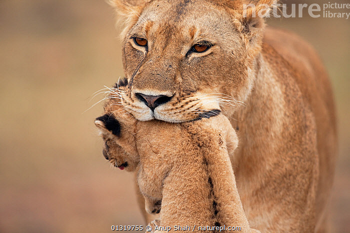 Lioness (Panthera leo) carrying her cub aged 2-3 months. Masai Mara National Reserve, Kenya, August 2009  ,  BIG CATS,CARNIVORES,CARRYING,CLOSE UPS,CUBS,EAST AFRICA,FEMALES,LIONS,MAMMALS,MOTHER BABY,PARENTAL,VERTEBRATES  ,  Anup Shah