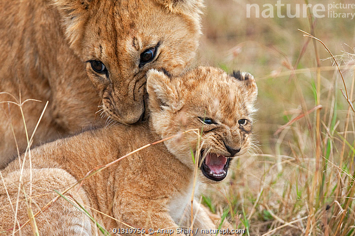 Lion cub (Panthera leo) aged 7 months bullying younger cub aged 2-3 months. Masai Mara National Reserve, Kenya, August 2009  ,  BIG CATS,BULLY,CARNIVORES,CUBS,DOMINANCE,EAST AFRICA,LIONS,MAMMALS,VERTEBRATES  ,  Anup Shah