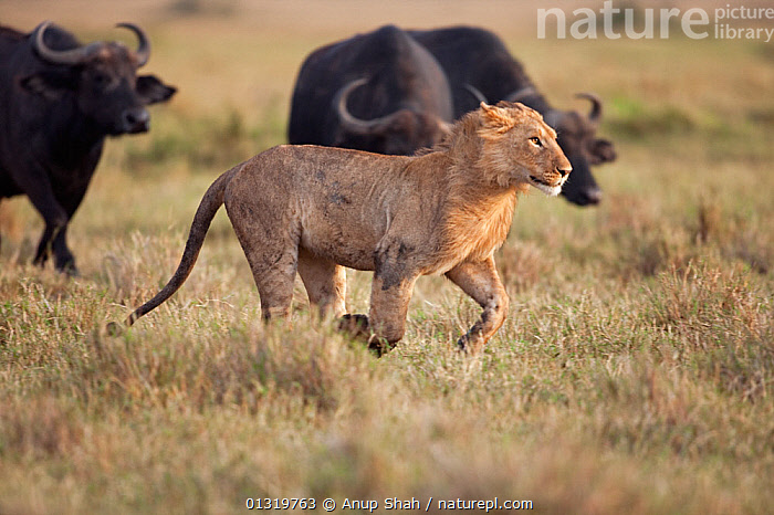 Herd of Cape buffalo (Syncerus cafer) chasing Lion adolescent male (Panthera leo). Masai Mara National Reserve, Kenya, September 2009  ,  ACTION,BIG CATS,CARNIVORES,DEFENSIVE,EAST AFRICA,GROUPS,JUVENILE,LIONS,MAMMALS,RUNNING,VERTEBRATES,Behaviour  ,  Anup Shah