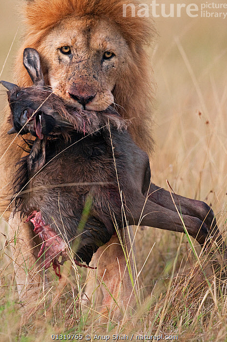 Lion male (Panthera leo) carrying carcass of a dead wildebeest (Connochaetes taurinus) in its mouth. Masai Mara National Reserve, Kenya, September 2009  ,  BIG CATS,CARNIVORES,CARRYING,EAST AFRICA,FEEDING,LIONS,MALES,MAMMALS,PREDATION,PREY,VERTEBRATES,VERTICAL,Behaviour  ,  Anup Shah