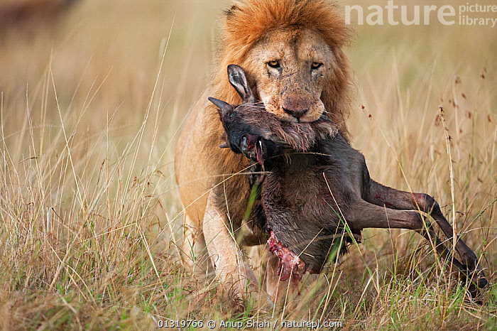 Lion male (Panthera leo) carrying carcass of a dead wildebeest (Connochaetes taurinus) in its mouth. Masai Mara National Reserve, Kenya, September 2009  ,  BIG CATS,CARNIVORES,CARRYING,EAST AFRICA,FEEDING,LIONS,MALES,MAMMALS,PREDATION,PREY,VERTEBRATES,Behaviour  ,  Anup Shah