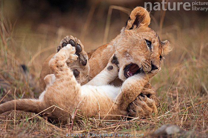 Lion cub  (Panthera leo) aged 7 months bullying younger cub aged 2-3 months. Masai Mara National Reserve, Kenya, September 2009  ,  BABIES,BIG CATS,BULLY,CARNIVORES,CUBS,DOMINANCE,EAST AFRICA,LIONS,MAMMALS,VERTEBRATES  ,  Anup Shah
