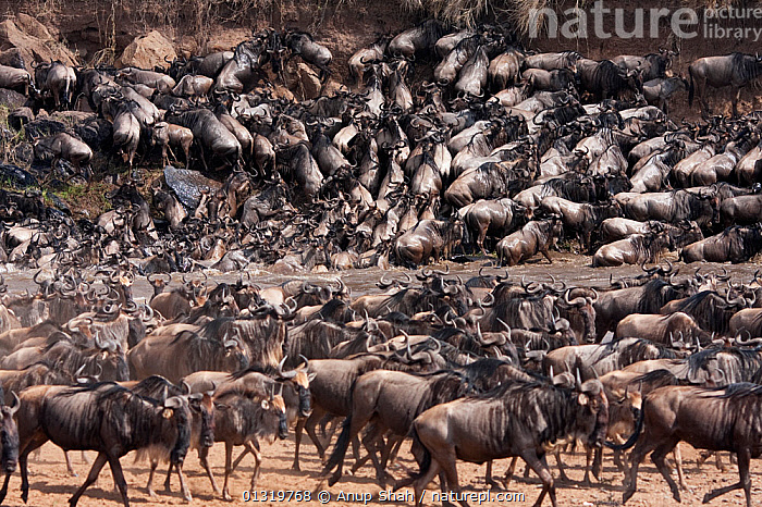Eastern White-bearded Wildebeest herd (Connochaetes taurinus albojubatu) crossing the Mara River. Masai Mara National Reserve, Kenya, September 2009  ,  ACTION,ARTIODACTYLA,BOVIDS,EAST AFRICA,GROUPS,HERDS,MAMMALS,MIGRATION,RIVERS,VERTEBRATES,WETLANDS,WILDEBEESTS,Antelopes  ,  Anup Shah