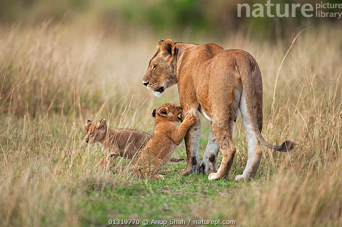 Lion cubs (Panthera leo) aged 2-3 months trying to get their mother's attention. Masai Mara National Reserve, Kenya, September 2009  ,  BABIES,BIG CATS,CARNIVORES,CUBS,EAST AFRICA,FAMILIES,INTERACTION,LIONS,MAMMALS,PARENTAL,VERTEBRATES  ,  Anup Shah