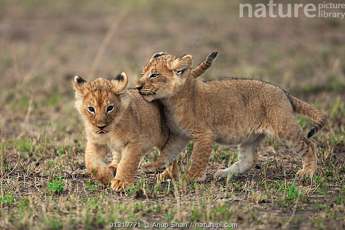 Lion cubs (Panthera leo) aged 2-3 months playing together. Masai Mara National Reserve, Kenya, September 2009  ,  BABIES,BIG CATS,CARNIVORES,CUBS,CUTE,EAST AFRICA,LIONS,MAMMALS,PLAY,TWO,VERTEBRATES,Communication  ,  Anup Shah
