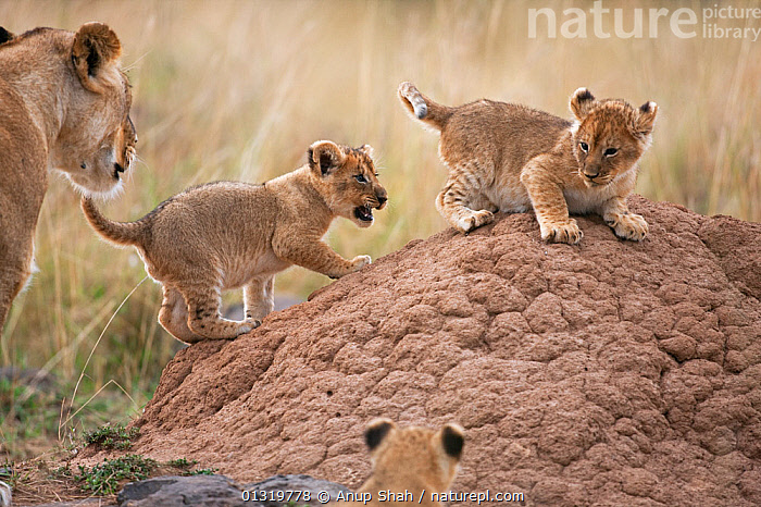 Lion cubs (Panthera leo) aged 2-3 months playing on a termite mound watched by their mother. Masai Mara National Reserve, Kenya, September 2009  ,  BIG CATS,CARNIVORES,CUBS,EAST AFRICA,FAMILIES,LIONS,MAMMALS,PLAY,VERTEBRATES,Communication  ,  Anup Shah