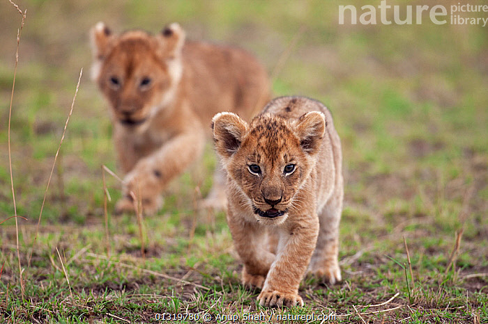 Lion cubs (Panthera leo) aged 2-3 months walking together. Masai Mara National Reserve, Kenya, September 2009  ,  BABIES,BIG CATS,CARNIVORES,CUBS,EAST AFRICA,LIONS,MAMMALS,TWO,VERTEBRATES,WALKING  ,  Anup Shah