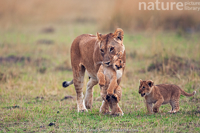 Lioness (Panthera leo) carrying 2-3 month cub in her mouth while others follow. Masai Mara National Reserve, Kenya, September 2009  ,  BABIES,BIG CATS,CARNIVORES,CARRYING,CUBS,EAST AFRICA,LIONS,MAMMALS,MOTHER BABY,PARENTAL,VERTEBRATES  ,  Anup Shah