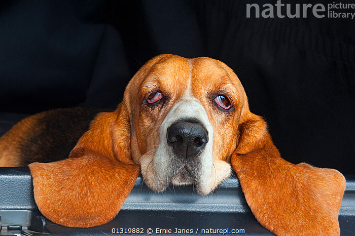 Basset hound, portrait, resting head on back of car, eyes half closed, UK, animal ear,animal portrait,Basset Hound,boredom,car,catalogue3,close up,CLOSE UPS,concepts,Dog,DOGS,EARS,EYES,eyes half closed,facial expression,front view,HEADS,hounds,HUMOROUS,MAMMALS,medium dogs,Nobody,one animal,outdoors,PETS,PORTRAITS,RELAXATION,resting,scenthounds,sleepy,UK,VERTEBRATES,Europe,United Kingdom,Canids, Ernie Janes