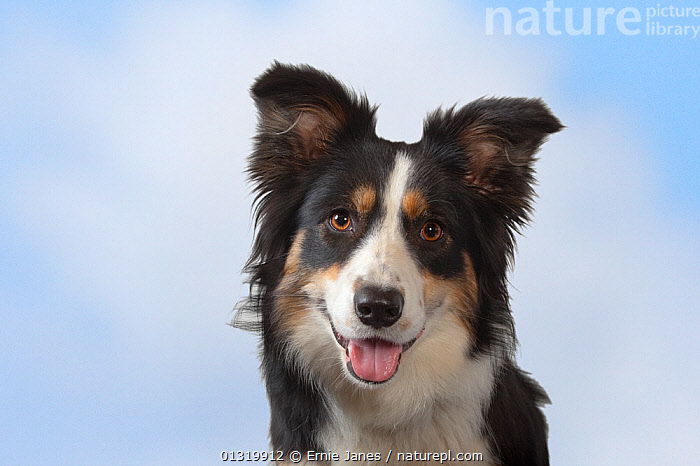 Border collie, head portrait, Norfolk, UK, May  ,  animal head,animal portrait,Border Collie,catalogue3,close up,CLOSE UPS,Dog,DOGS,eager to please,enthusiasm,EUROPE,friendly,HEADS,looking at camera,LOW ANGLE SHOT,MAMMALS,medium dogs,Nobody,Norfolk,one animal,panting,pastoral dogs,PETS,PORTRAITS,sheepdog,studio shot,TONGUES,UK,VERTEBRATES,VERTICAL,white background,United Kingdom,Canids  ,  Ernie Janes