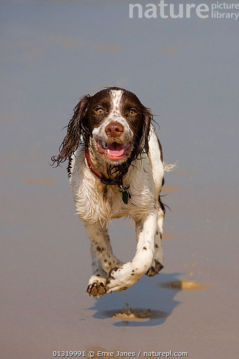 English Springer spaniel running over beach at low tide, August, UK  ,  beach,BEACHES,BROWN,catalogue3,close up,CLOSE UPS,Dog,DOGS,Domestic,English Springer Spaniel,enthusiasm,EUROPE,facial expression,FUR,gundogs,looking at camera,low tide,medium dogs,mid air,MOVEMENT,Nobody,one animal,open mouth,outdoors,panting,PETS,RUNNING,spaniel,UK,VERTEBRATES,VERTICAL,wet,United Kingdom,Canids  ,  Ernie Janes
