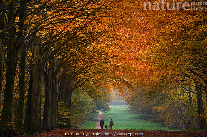 Beech trees at Felbrigg Great Wood, Norfolk, UK, November 2008, AUTUMN,Beech,beech tree,catalogue3,country road,COUNTRYSIDE,Dog,DRAMATIC,EUROPE,Fagus,Felbrigg Great Wood,Golden,LANDSCAPES,leaf canopy,LEAVES,LEISURE,Norfolk,outdoors,paths,PEOPLE,perspective,RESERVE,rural,scenery,Scenic,treelined,TREES,UK,WALKING,WINTER,WOODLANDS,PLANTS,United Kingdom, Ernie Janes