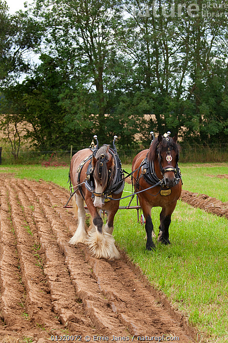 Plough pulled by a pair of Heavy horses, UK, July 2009  ,  CARTHORSE,CART HORSE,CROPS,EUROPE,HORSES,LIVESTOCK,MAMMALS,PERISSODACTYLA,PLOUGHING,TRADITIONAL,TWO,UK,VERTEBRATES,VERTICAL,WORKING,United Kingdom,Equines  ,  Ernie Janes