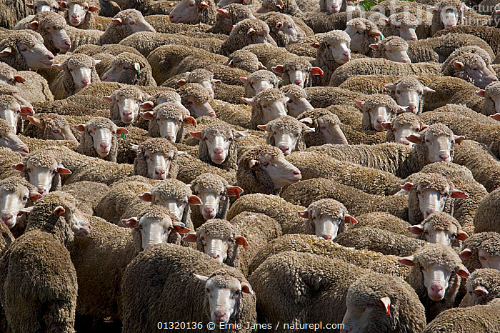 Large flock of Merino Sheep, New Zealand, February 2009, ARTIODACTYLA,BACKGROUNDS,BOVIDS,catalogue3,fleece,flock of animals,FLOCKS,full frame,GROUPS,HIGH ANGLE SHOT,identical,large group,large group of animals,LIVESTOCK,looking at camera,MAMMALS,mass,Merino Sheep,new zealand,NEW ZEALAND,Nobody,outdoors,SHEEP,VERTEBRATES,Goats,Antelopes, Ernie Janes