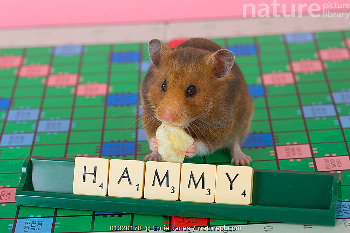 Pet domestic hamster (Mesocritecus auratus) beside scrabble letters spelling 'hammy', UK, CUTE,CUTOUT,FEEDING,HAMSTERS,MAMMALS,PETS,PORTRAITS,RODENTS,SMALL,SPELLING,STUDIO,UK,VERTEBRATES,WORDS,WRITING,Europe,United Kingdom,Muridae, Ernie Janes