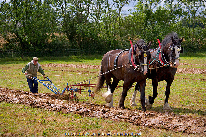 Farmer ploughing with a pair of Heavy horses, UK, July 2008  ,  CARTHORSE,CART HORSE,CROPS,EARTH,EUROPE,FARMING,GENTLE,GIANTS,HORSE,HORSES,LAND,LARGE,LIVESTOCK,MAN,OUTDOORS,PAIR,PEOPLE,PERISSODACTYLA,PLOUGHING,TRADITIONAL,UK,VERTEBRATES,WORKING,United Kingdom,Equines ,HORSES,PERISSODACTYLA,VERTEBRATES,MAMMALS  ,  Ernie Janes