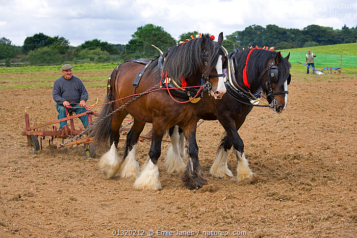 Harrow pulled by a pair of working Shire Horses, UK, July 2007  ,  CARTHORSE,CART HORSE,CROPS,EUROPE,FARMING,HORSE,HORSES,LARGE,LIVESTOCK,MAN,OUTDOORS,PAIR,PEOPLE,PERISSODACTYLA,PLOUGHING,TRADITIONAL,UK,VERTEBRATES,WORKING,United Kingdom,Equines ,HORSES,PERISSODACTYLA,VERTEBRATES,MAMMALS  ,  Ernie Janes