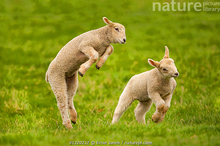 Domestic sheep, lambs playing in field, Goosehill Farm, Buckinghamshire, UK, April 2005  ,  ACTION,BABIES,BEHAVIOUR,CUTE,EUROPE,FARMING,JUMPING,LAMB,LIVESTOCK,MAMMALS,PLAY,PLAYING,SHEEP,SPRING,TWO,UK,VERTEBRATES,Communication,United Kingdom,Goats,Antelopes  ,  Ernie Janes
