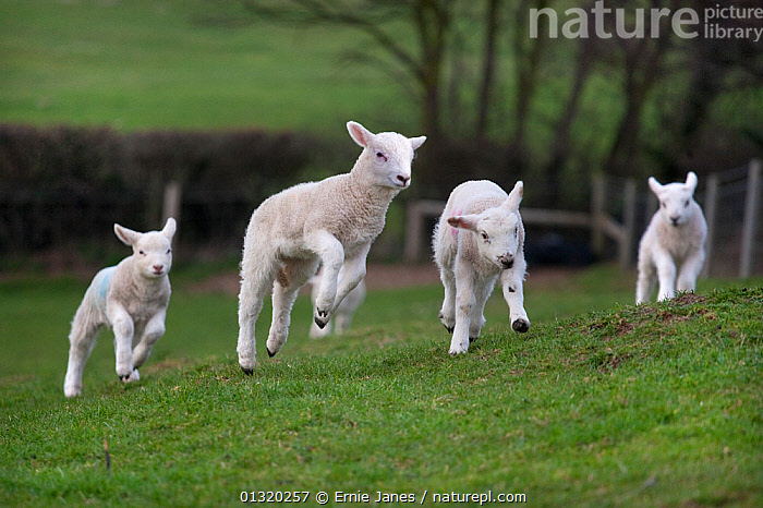 Domestic sheep, lambs playing in a field, Norfolk, UK, March  ,  BABIES,BEHAVIOUR,catalogue3,CUTE,differential focus,Easter,EUROPE,farm animal,Field,focus on foreground,FOUR,four animals,FRIENDSHIP,fun,GROUPS,hillside,INTERACTION,JUMPING,lamb,lambs,LIVESTOCK,Nobody,Norfolk,outdoors,play,playful,playing,RUNNING,selective focus,SHEEP,small group,small group of animals,SPRING,twins,UK,VERTEBRATES,WHITE,YOUNG,young animal,youthful,Concepts,Communication,United Kingdom,Goats,Antelopes  ,  Ernie Janes